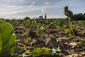 Sugar Beets and Neurath Coal Power Plant in Germany