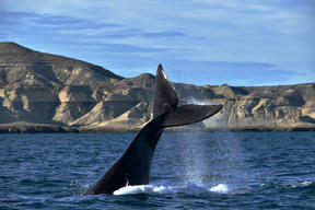 Southern Right Whale in Argentina