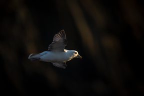Northern Fulmar in Shiant Isles Scotland