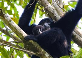 Siamangs in Tambling Wildlife Nature Conservation