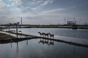 Sheep at the Coal Power Plants in Cirebon