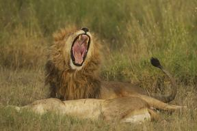 Lions in the Savanna in Tanzania