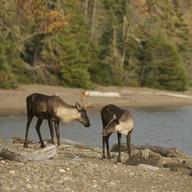 Woodland Caribou in Canada