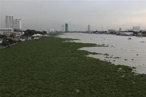 Water Hyacinth in Chao Phraya River