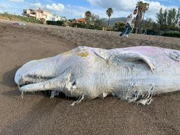Sperm Whale Death in Palermo, Sicily