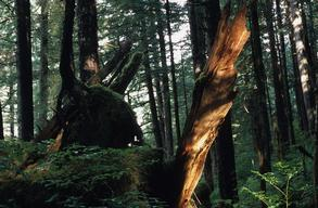 Forest Scene in Tongass National Forest