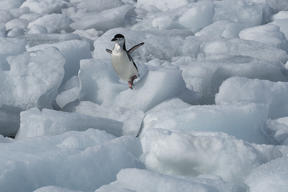 Chinstrap Penguin on Anvers Island