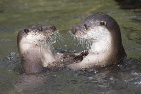 Playing Eurasian Otters in Derbyshire