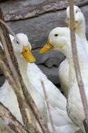 Beijing Ducks at Animal Park Arche Warder in Germany