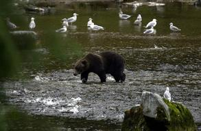 Grizzly Bear in Tongass National Forest