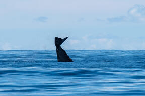 Sperm Whale Survey in the Indian Ocean