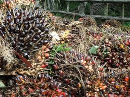 Detail of Palm Oil Fruit in Sumatra