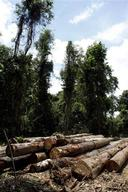 Logged Trees in East Kalimantan