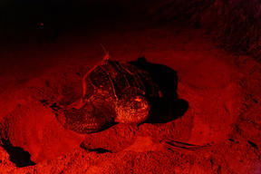 Leatherback Turtle in French Guiana