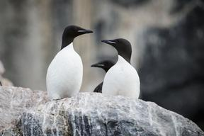 Guillemots in Svalbard