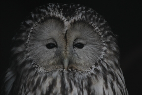 Tawny Owl in Kurgalsky Nature Reserve in Russia