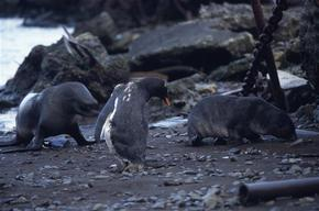 Oiled Gentoo Penguins, Leith Harbour