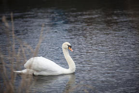 Swan on River Severn in UK