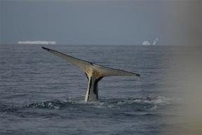 Humpback Whales in the Southern Ocean