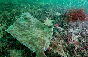 Flounder in Gillnet in North and Baltic Sea Protected Areas