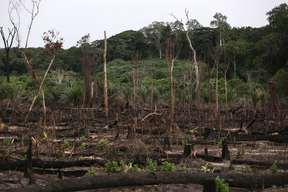Forest Clearing for New Palm Oil Plantation in Cameroon