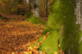 Beech Tree Trunks in Spessart Forest