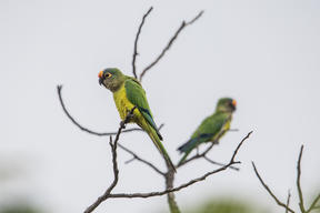 Peach-fronted Parakeet in Brazil