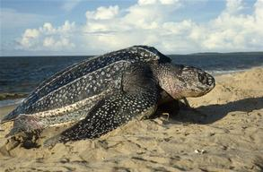 Female Leatherback Turtle in French Guiana