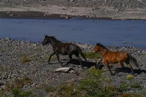 Horses crossing a River