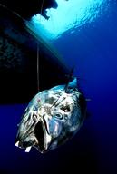 Bluefin Tuna - Defending Our Oceans (Mediterranean Sea: 2007)