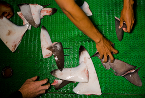 Shark Fins on Fishing Vessel in the Pacific Ocean