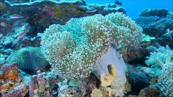Inflated Soft Coral in the Great Barrier Reef