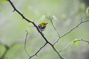Black-throated Green Warbler in Canadian Boreal Forest