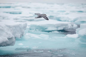 Seabird in the Arctic