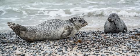 Diseased Seals Research on Heligoland