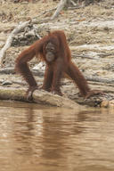Orangutan Threatened by Haze in Central Kalimantan
