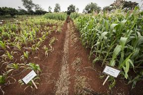 Fields with Maize in Kenya