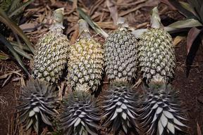 Harvested Pineapples in Riau