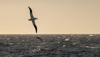 Wandering Albatross in the Antarctic