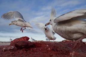 Gulls Feast on Whale Remains in Alaska