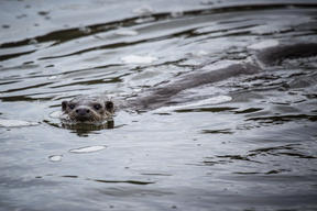 Otter in River Severn in UK