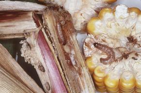 Maize Pest in Germany