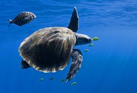 Turtle in the Pacific Ocean