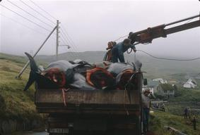 Pilot Whales loaded on Truck