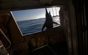 Swordfish Caught by Spanish Longliner