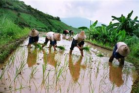 Rice Farming in Xinping