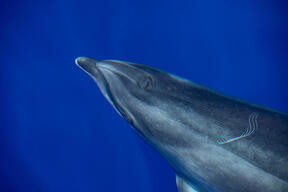Bottlenose Dolphin in the Pelagos Sanctuary in Italy