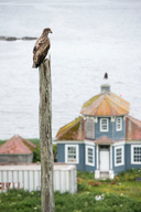 Hawk on Wooden Beam in Unalaska
