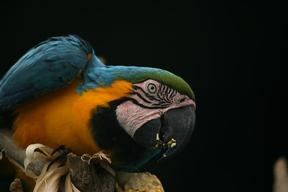 Blue Throated Macao Parrot in Brazil