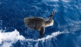 Olive Ridley Turtle in the Pacific